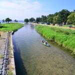 知内川を泳ぐハス